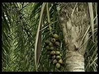 Palmeira Piaçava